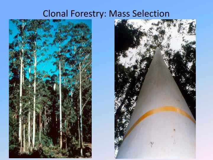 Clonal Forestry: Mass Selection