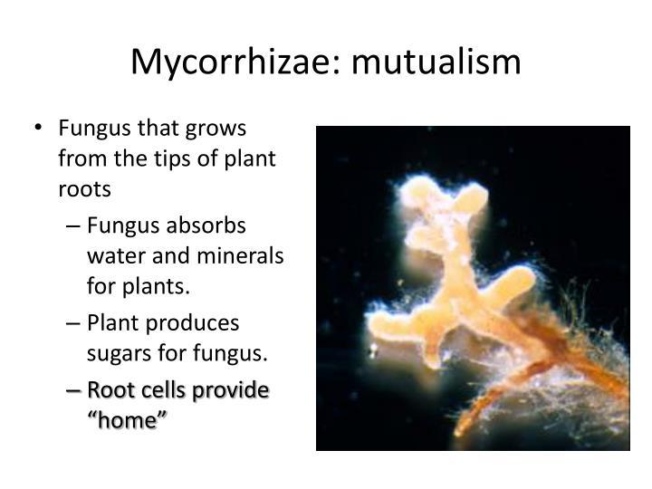 mycorrhizae and plants mutualism relationship