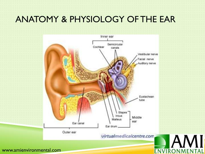 Anatomy & Physiology of the Ear