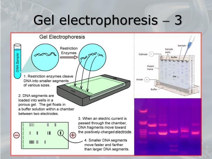 Gel electrophoresis  3