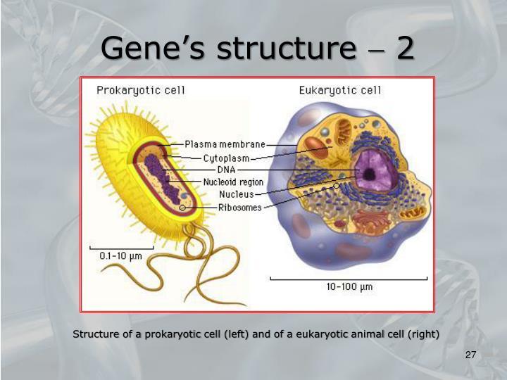Gene's structure  2