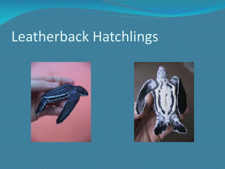 Leatherback Hatchlings
