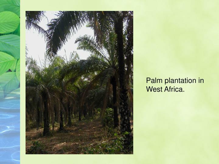 Palm plantation in