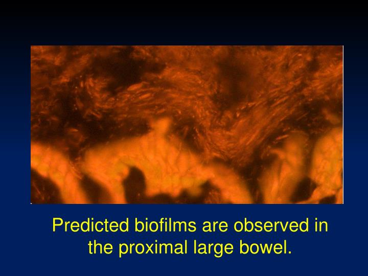 Predicted biofilms are observed in the proximal large
