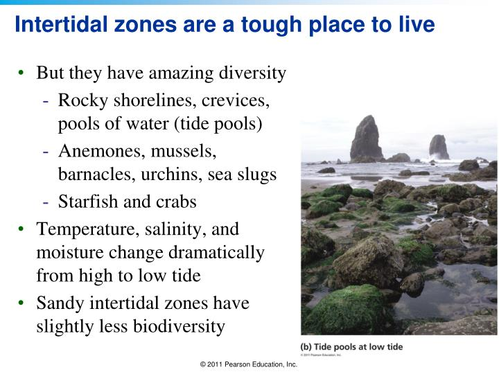 Intertidal zones are a tough place to live