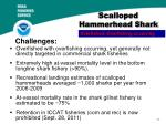 scalloped hammerhead shark1