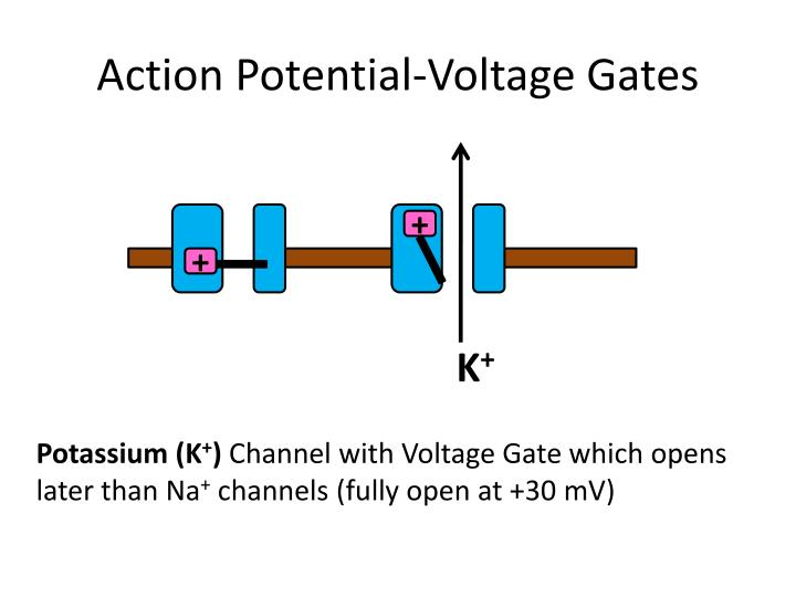 Action Potential-Voltage Gates