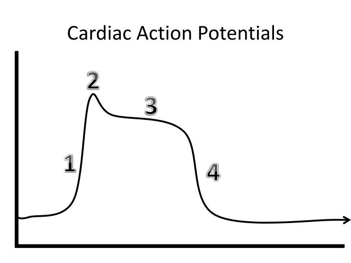 Cardiac Action Potentials