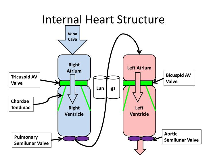 Internal Heart Structure