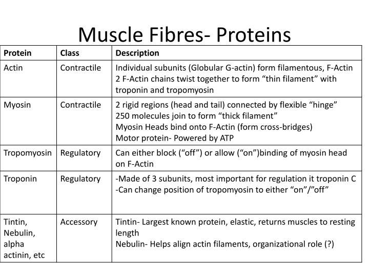 Muscle Fibres- Proteins