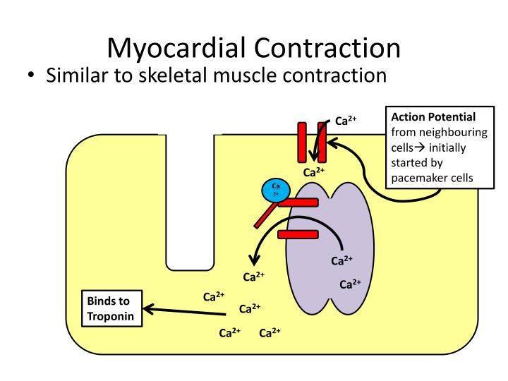 Myocardial Contraction