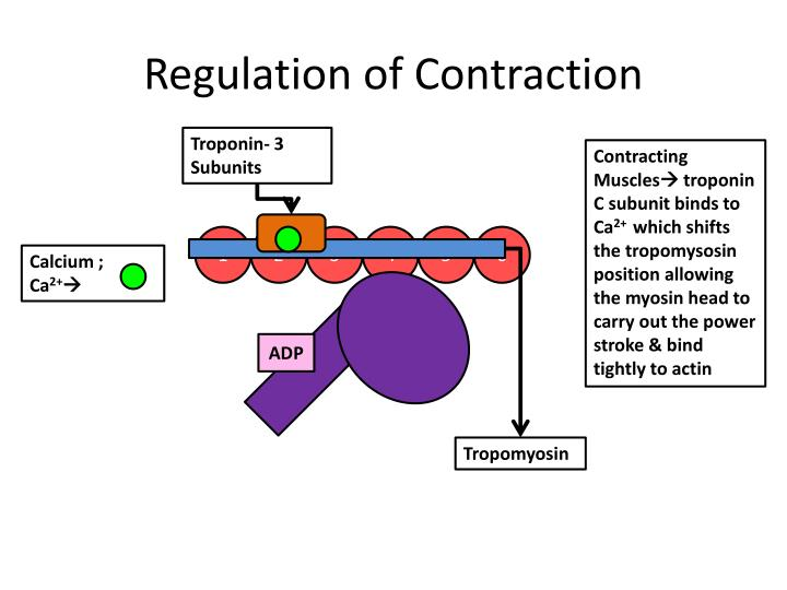 Regulation of Contraction