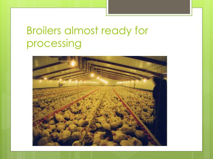 Broilers almost ready for processing