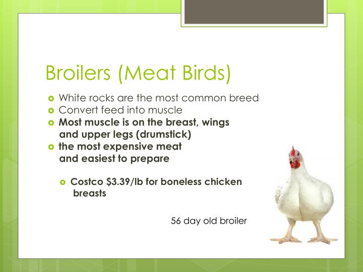 Broilers meat birds