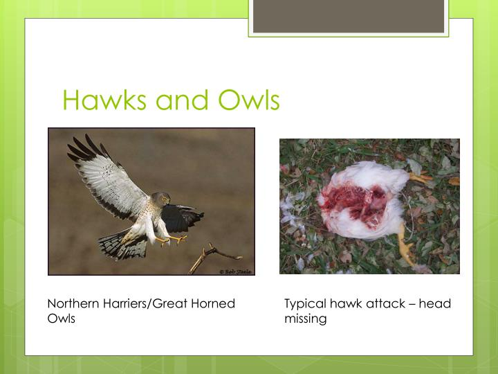 Hawks and Owls