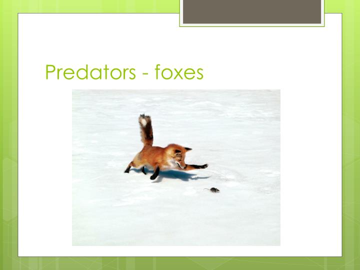 Predators - foxes