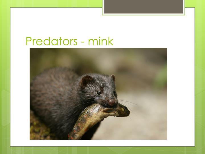 Predators - mink
