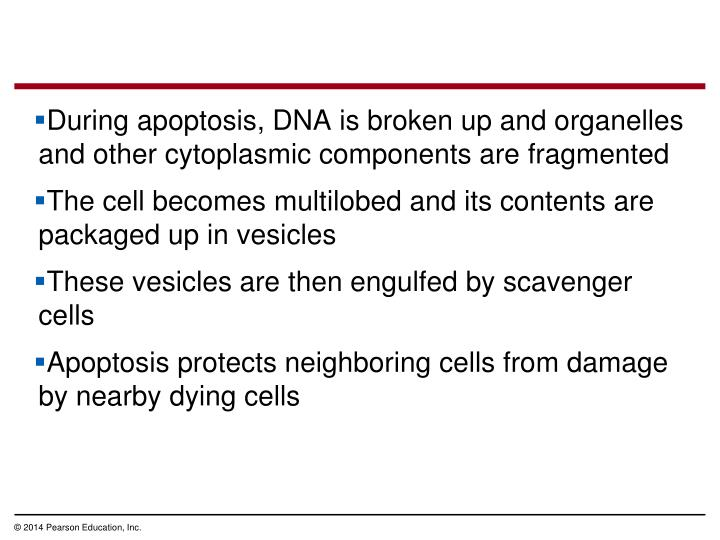 During apoptosis, DNA is broken up and organelles and other cytoplasmic components are fragmented
