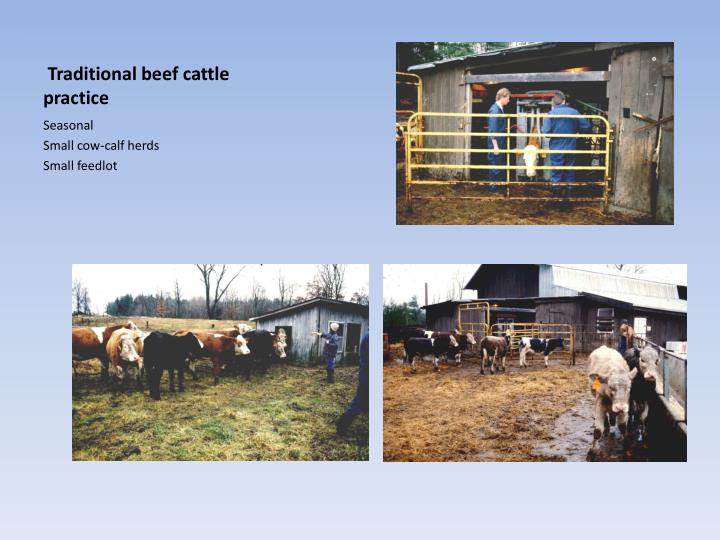 Traditional beef cattle practice