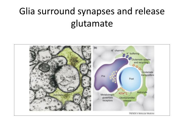 Glia surround synapses and release glutamate