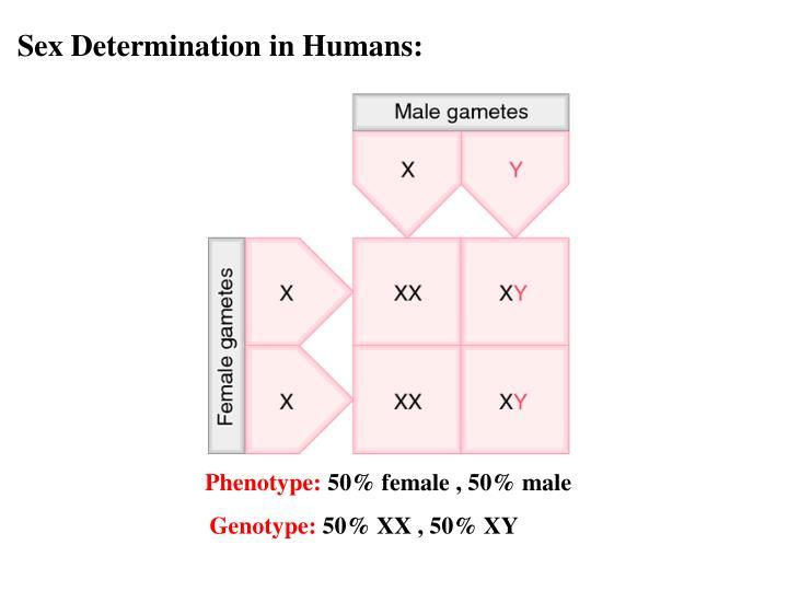 Sex Determination in Humans: