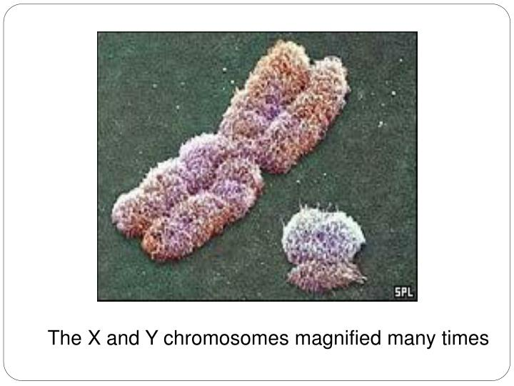The X and Y chromosomes magnified many times