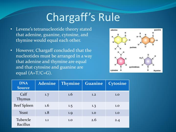Chargaff's Rule