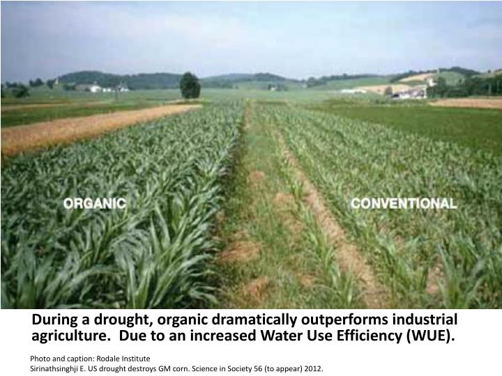 During a drought, organic dramatically outperforms industrial agriculture.  Due to an increased Water Use Efficiency (WUE).