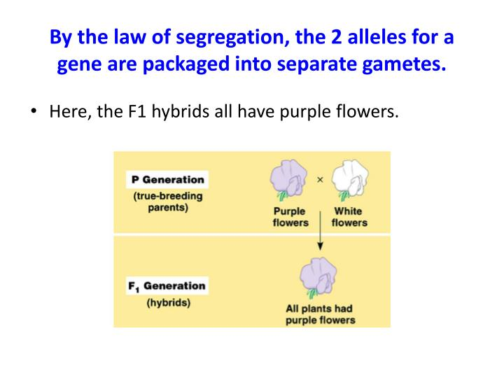 By the law of segregation, the 2 alleles for a gene are packaged into separate gametes.