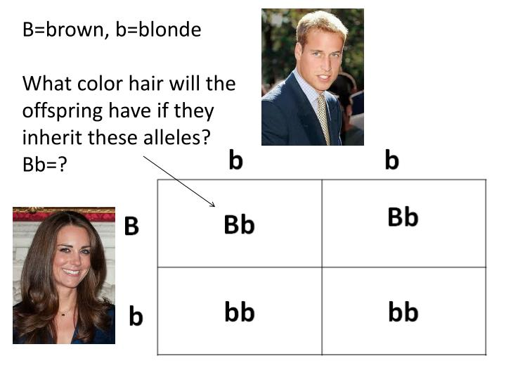 B=brown, b=blonde