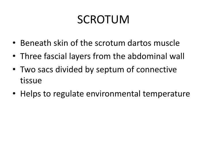 SCROTUM