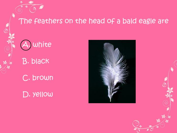 The feathers on the head of a bald eagle are