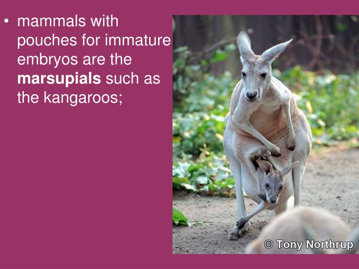 mammals with pouches for immature embryos are the