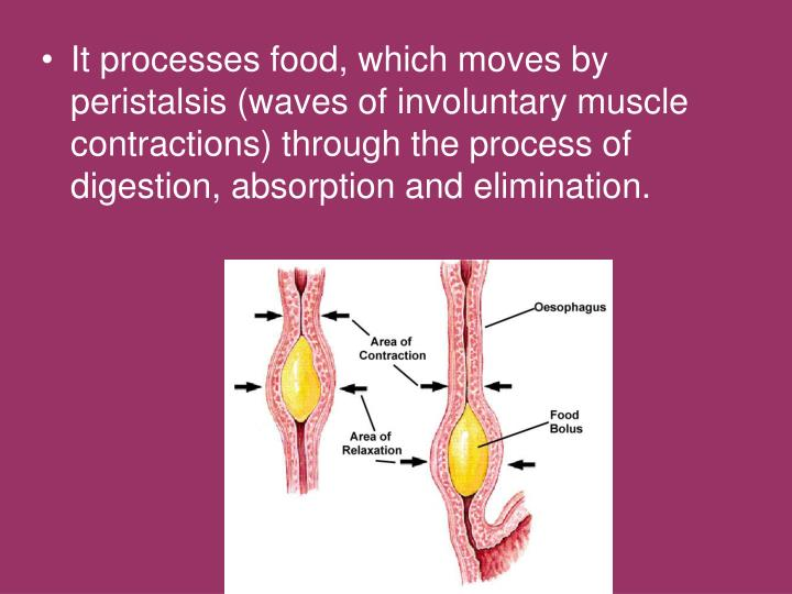 It processes food, which moves by peristalsis (waves of involuntary muscle contractions) through the process of digestion, absorption and elimination.