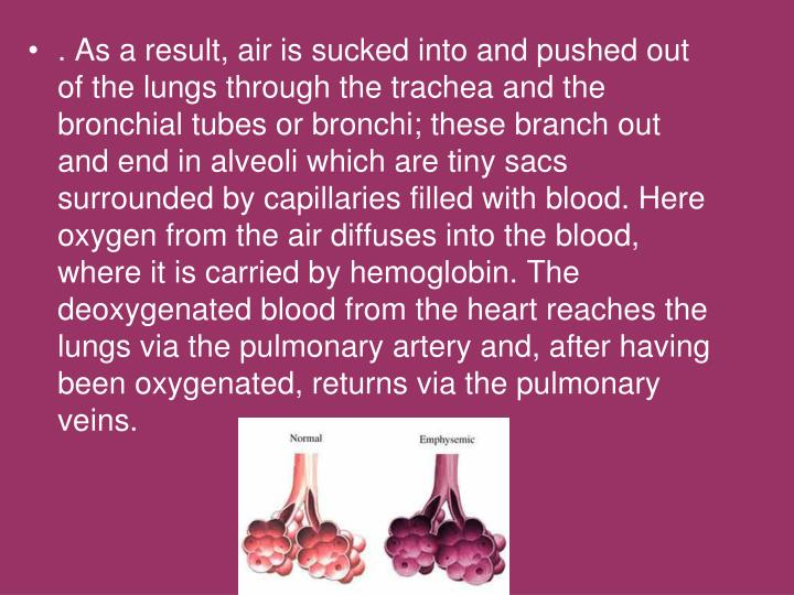 . As a result, air is sucked into and pushed out of the lungs through the trachea and the bronchial tubes or bronchi; these branch out and end in alveoli which are tiny sacs surrounded by capillaries filled with blood. Here oxygen from the air diffuses into the blood, where it is carried by hemoglobin. The deoxygenated blood from the heart reaches the lungs via the pulmonary artery and, after having been oxygenated, returns via the pulmonary veins.
