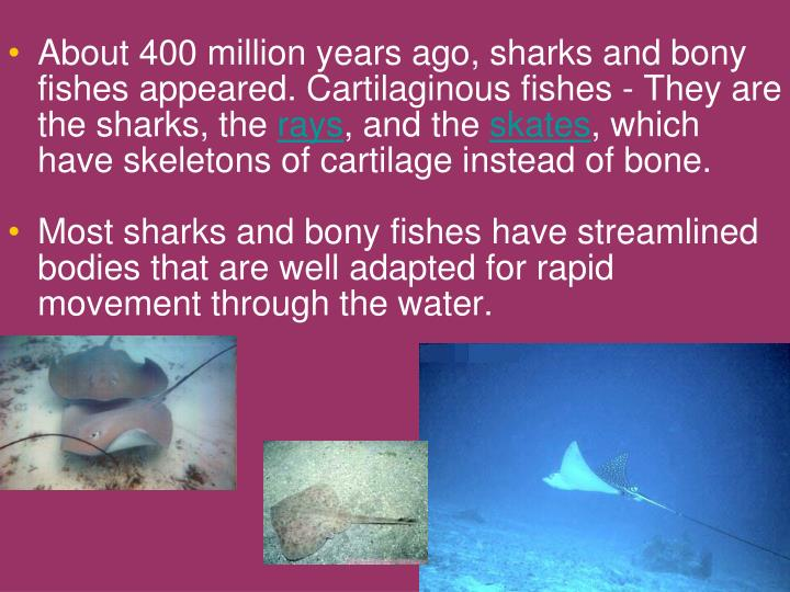 About 400 million years ago, sharks and bony fishes appeared. Cartilaginous fishes - They are the sharks, the