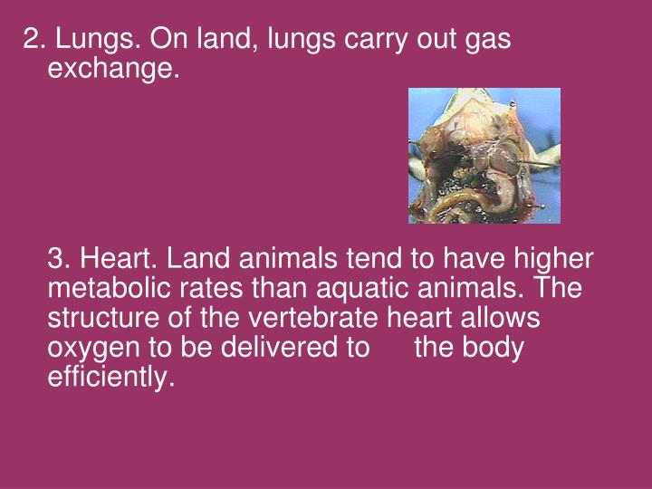 2. Lungs. On land, lungs carry out gas exchange.