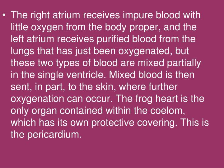 The right atrium receives impure blood with little oxygen from the body proper, and the left atrium receives purified blood from the lungs that has just been oxygenated, but these two types of blood are mixed partially in the single ventricle. Mixed blood is then sent, in part, to the skin, where further oxygenation can occur. The frog heart is the only organ contained within the coelom, which has its own protective covering. This is the pericardium.