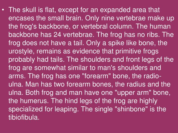 "The skull is flat, except for an expanded area that encases the small brain. Only nine vertebrae make up the frog's backbone, or vertebral column. The human backbone has 24 vertebrae. The frog has no ribs. The frog does not have a tail. Only a spike like bone, the urostyle, remains as evidence that primitive frogs probably had tails. The shoulders and front legs of the frog are somewhat similar to man's shoulders and arms. The frog has one ""forearm"" bone, the radio-ulna. Man has two forearm bones, the radius and the ulna. Both frog and man have one ""upper arm"" bone, the humerus. The hind legs of the frog are highly specialized for leaping. The single ""shinbone"" is the tibiofibula."
