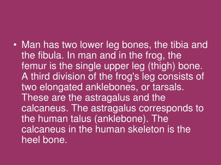 Man has two lower leg bones, the tibia and the fibula. In man and in the frog, the femur is the single upper leg (thigh) bone. A third division of the frog's leg consists of two elongated anklebones, or tarsals. These are the astragalus and the calcaneus. The astragalus corresponds to the human talus (anklebone). The calcaneus in the human skeleton is the heel bone.