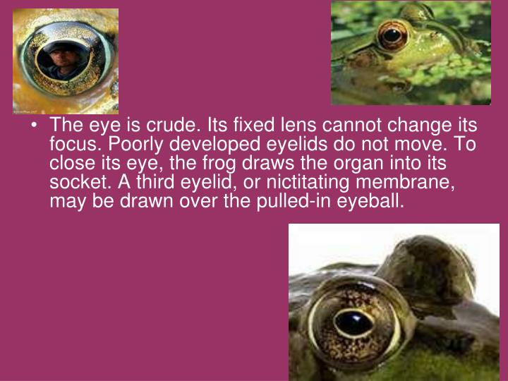 The eye is crude. Its fixed lens cannot change its focus. Poorly developed eyelids do not move. To close its eye, the frog draws the organ into its socket. A third eyelid, or nictitating membrane, may be drawn over the pulled-in eyeball.