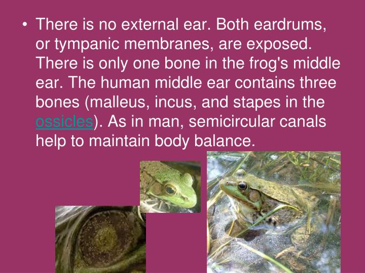 There is no external ear. Both eardrums, or tympanic membranes, are exposed. There is only one bone in the frog's middle ear. The human middle ear contains three bones (malleus, incus, and stapes in the