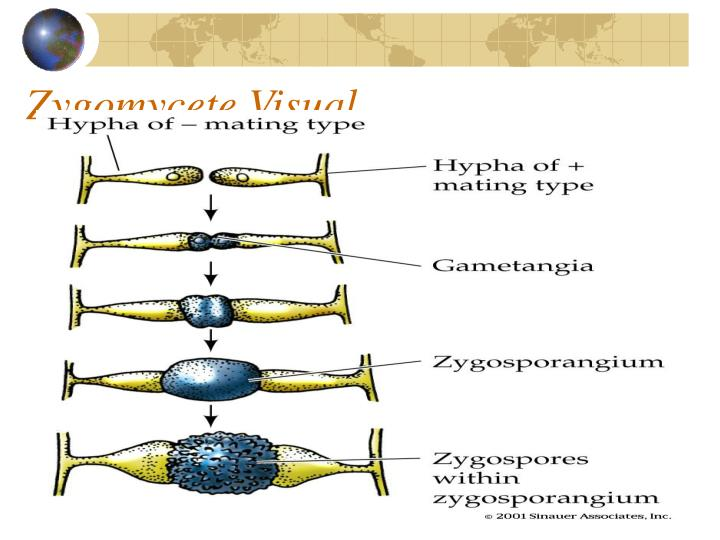 Zygomycete Visual
