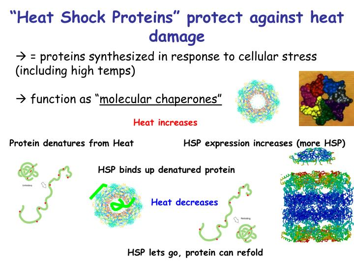 """Heat Shock Proteins"" protect against heat damage"