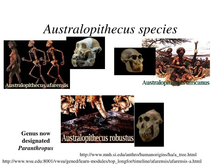 Australopithecus species