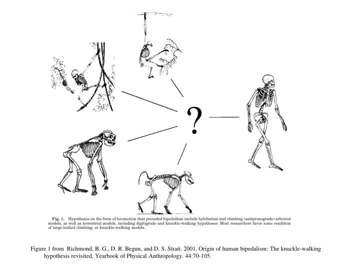Figure 1 from  Richmond, B. G., D. R. Begun, and D. S. Strait. 2001. Origin of human