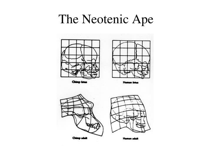The Neotenic Ape