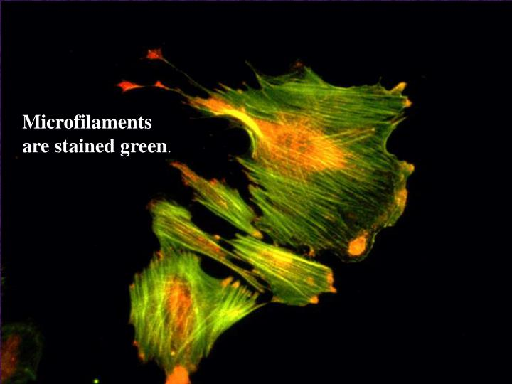 Microfilaments are stained green