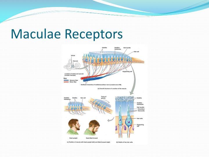 Maculae Receptors