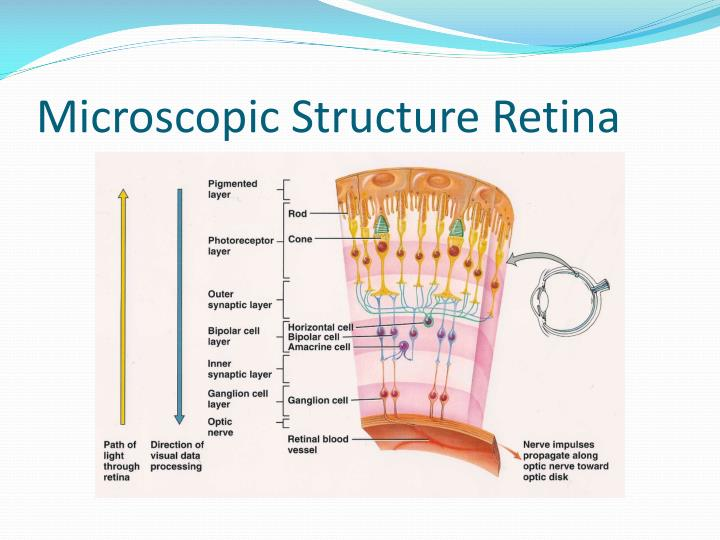 Microscopic Structure Retina